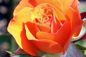 Bệnh phấn trắng cây hoa hồng