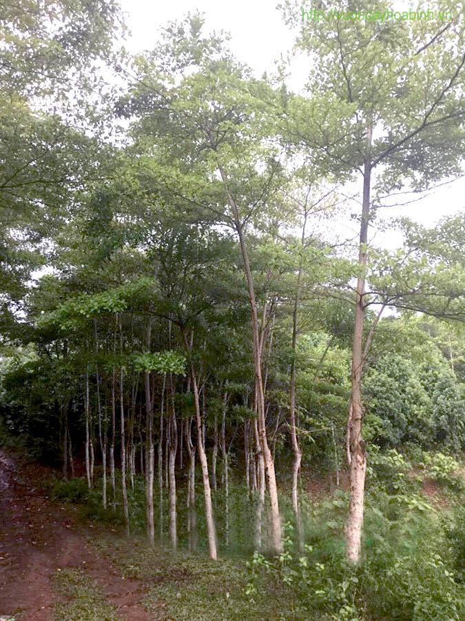 cay-bang-dai-loan-cong-trinh