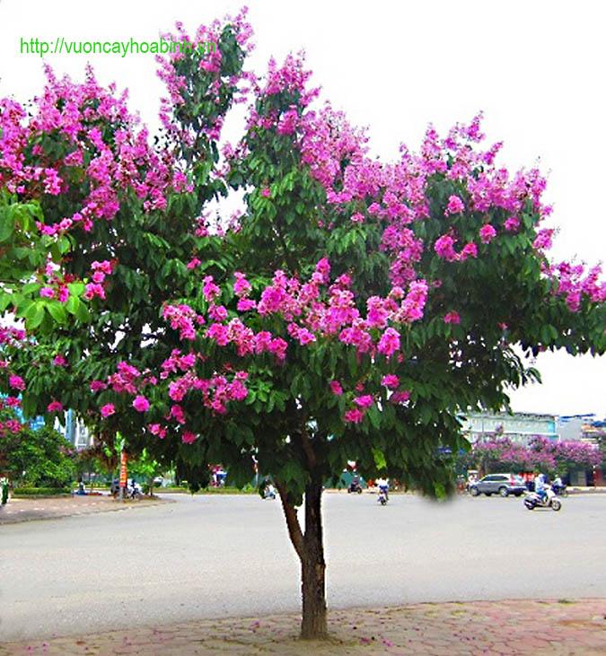 Bán cây bằng lăng tím cổ thụ