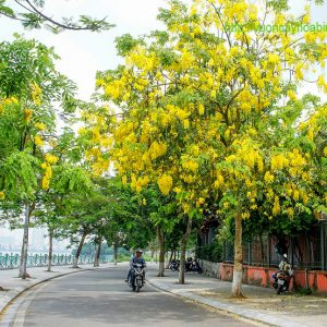 Bán cây Osaka vàng vuoncayhoabinh.vn