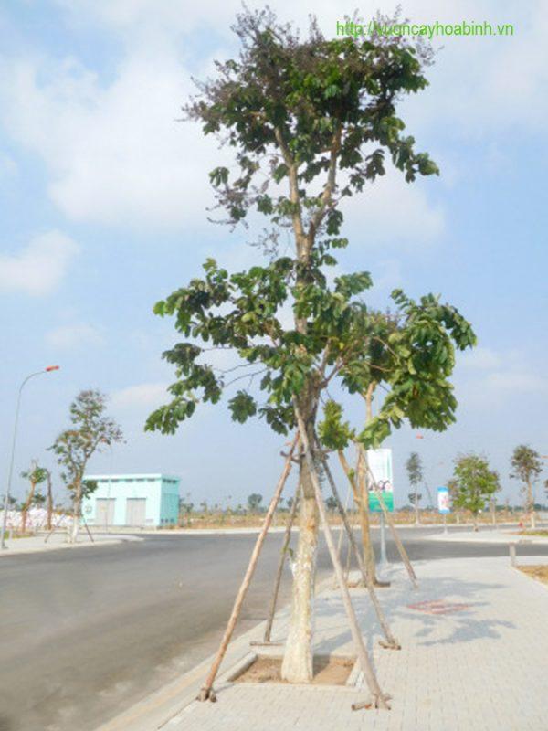 Bán cây bằng lăng ổi vuoncayhoabinh.vn