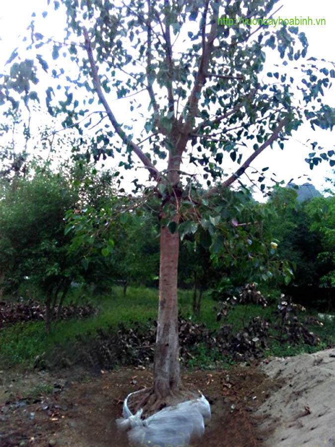 Bán cây bồ đề