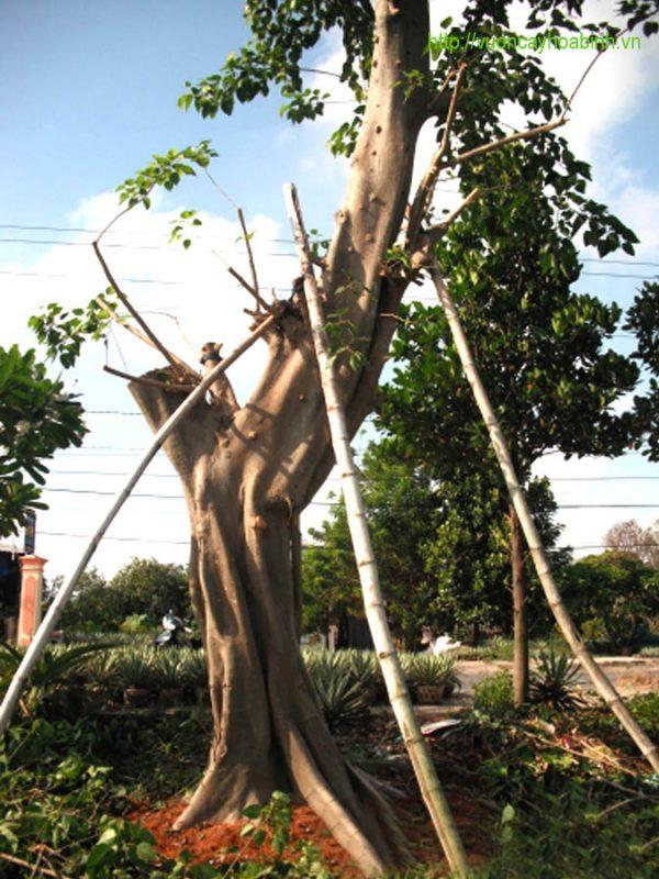 Cây bồ đề vườn cây hòa bình