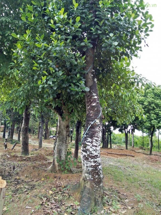 Cây mít vườn cây hòa bình