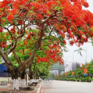 Cây phượng vĩ cây xanh công trình