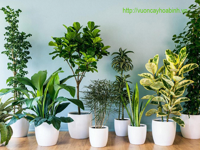 Cho thuê cây xanh văn phòng vuoncayhoabinh.vn