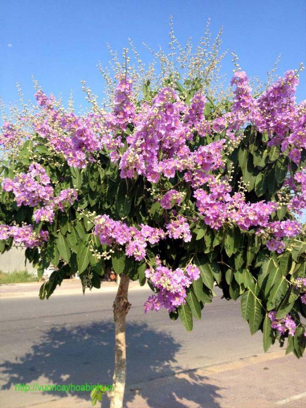 Giá cây bằng lăng tím