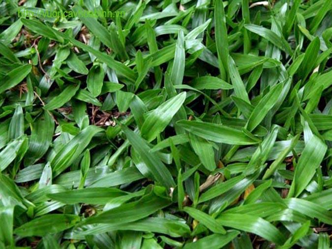 Cây cỏ lá gừng vuoncayhoabinh.vn