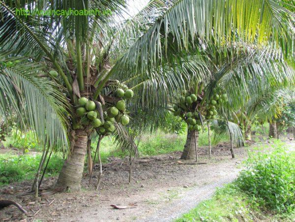 Dừa Xiêm Xanh vuoncayhoabinh.vn