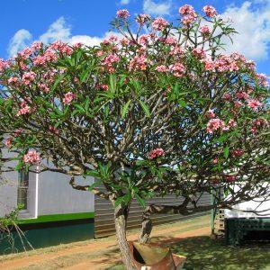 cây hoa đại đỏ vuoncayhoabinh.vn