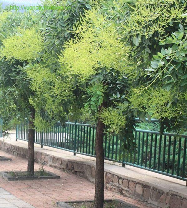 Cây Hoa Hòe Công Trình vuoncayhoabinh.vn