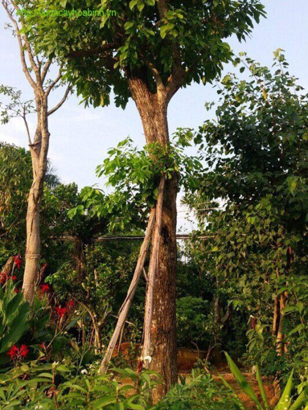 Cây Lộc Vừng Công Trình Vườn Cây Hòa bình