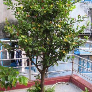 cây mai tứ quý vườn cây hòa bình