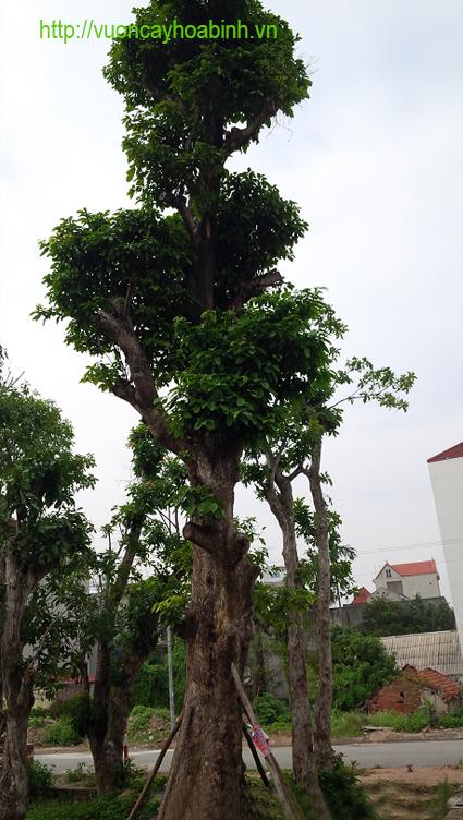 cay-sang-cong-trinh-4-vuoncayhoabinhvn