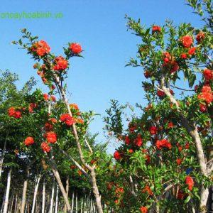 Cây Lựu Hạnh vuoncayhoabinh.vn