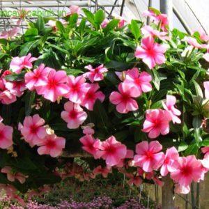cây hoa dừa cạn vuoncayhoabinh.vn