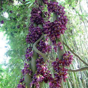 cây hoa huyết long vuoncayhoabinh.vn