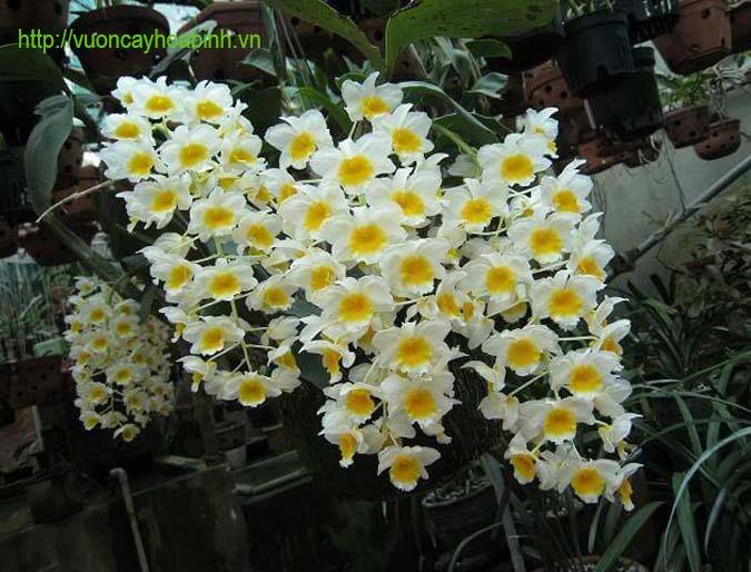 phong lan santhuong vuoncayhoabinhvn